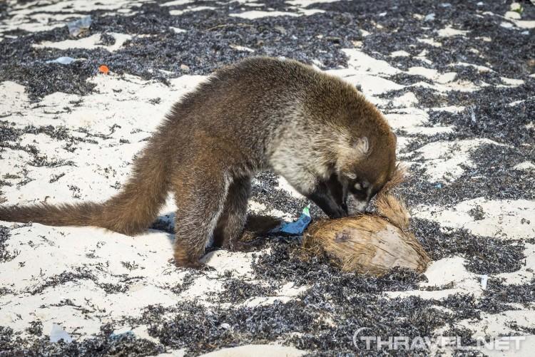 Playa del Carmen beach - Coati roaming around
